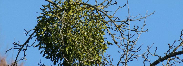 mistel am Baum