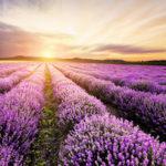Lavendelhain