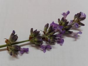 Lavendelblüte