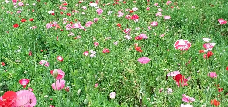 weiße, rosafarbene und rote Mohnblumen