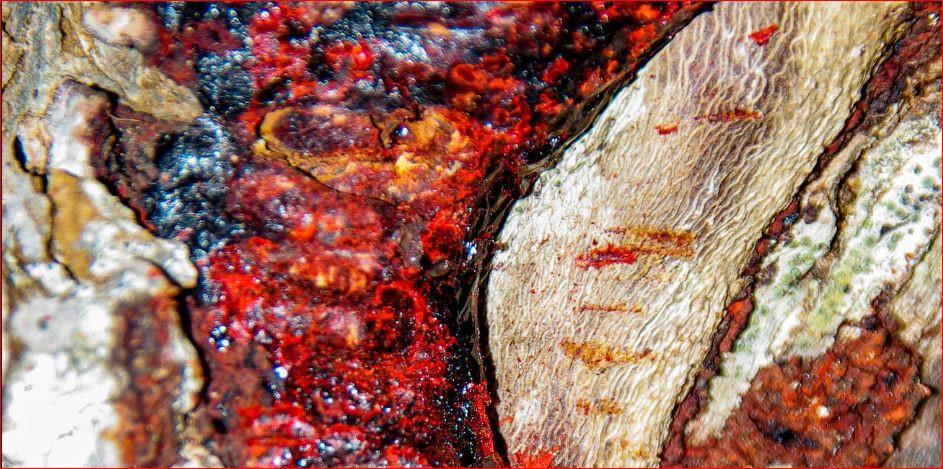 rotes Harz vom Drachenblutbaum