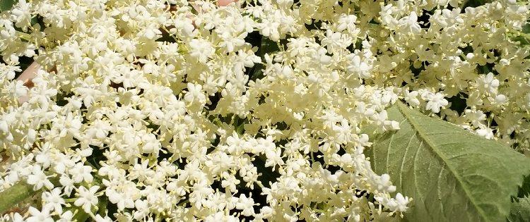 schöne Holunder-blüte