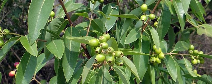 Sandelholz Baum
